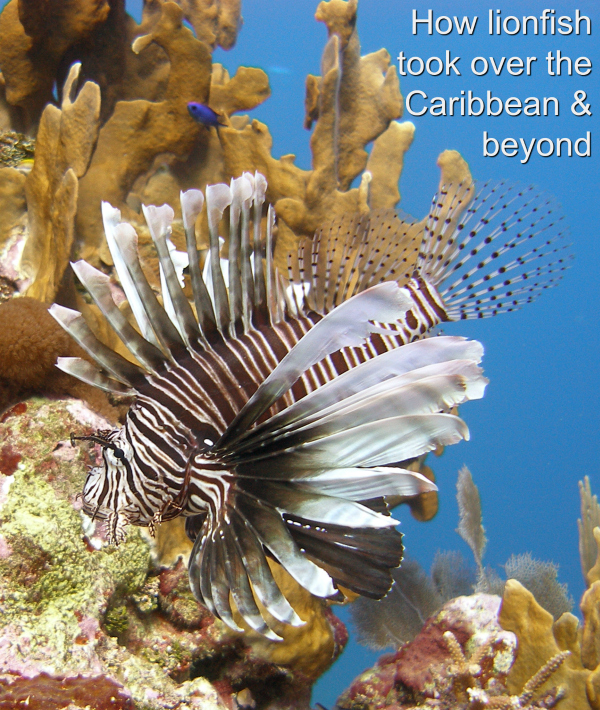 We spotted our first lionfish on the East End of Grand Cayman, where I live, in September 2009. 24 years prior to that in 1985 the first lionfish was spotted off of Dania Beach in Florida.