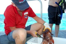 Are lionfish safe to eat? Cleaning the day's catch on the dock after our lionfish hunt.