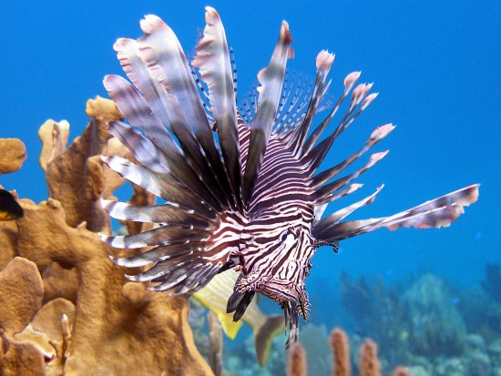 Lionfish invasion. How they took over the Caribbean and beyond
