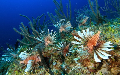Lionfish invasion. How they took over the Caribbean and beyond.