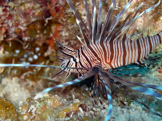 Lionfish sting first aid and treatment