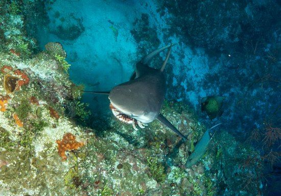 This Caribbean Grey Reef Shark on the East End of Grand Cayman ate this lionfish on Split Rock dive site. Thanks to scuba-bunny.blogspot.com for the photo.