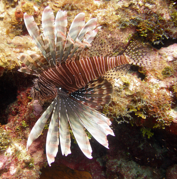 Here's a beautiful lionfish just before I killed it. Sorry in the Caribbean they are a truly terrible invasive problem. I've now killed over TEN THOUSAND.