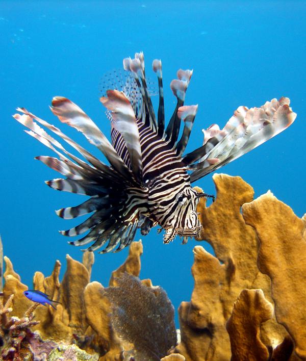 Are lionfish poisonous?