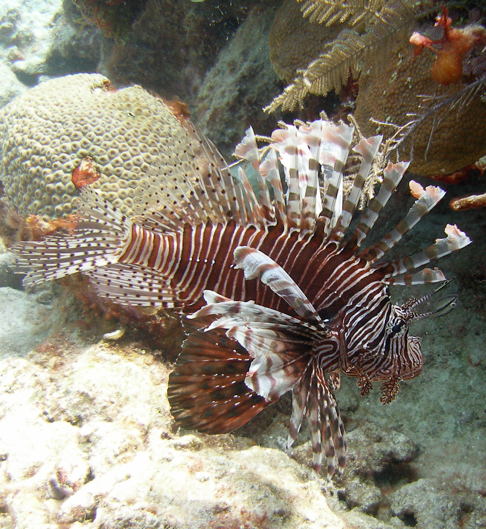 Local intervention is critical in culling lionfish.