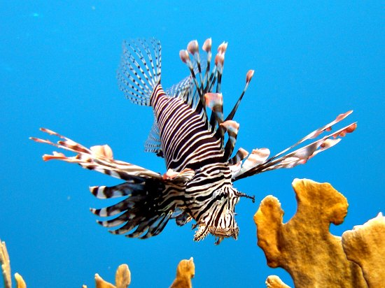 Lionfish reproduction