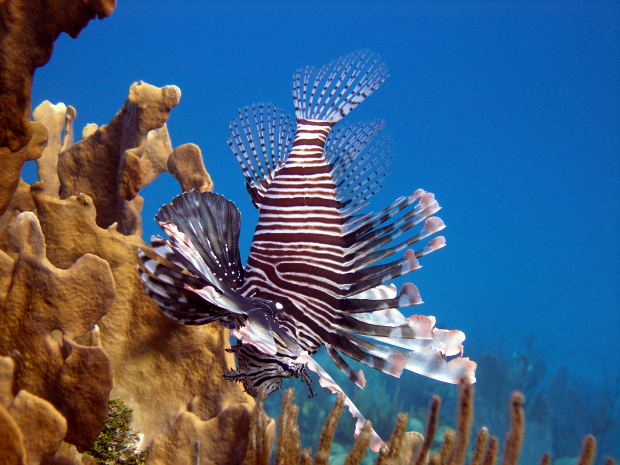 How long can lionfish live? The simple answer is around 5 to 15 years and actually longer in captivity.