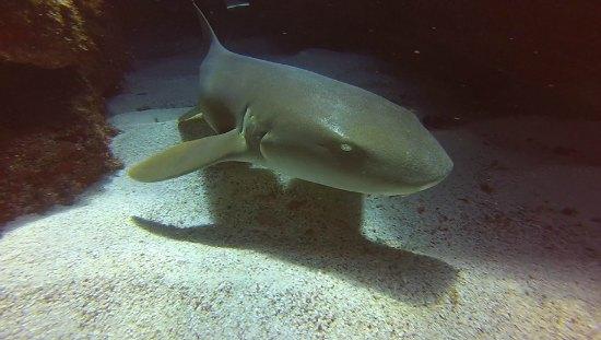Nurse shark1